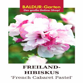 Field hibiscus 'French Cabaret' pastel - -